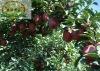 Apple fruit seasons