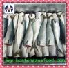 Frozen Pacific Mackerel Scomber Japonicus HGT 200-300g
