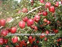 Sweet red star apple