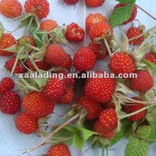Rubus idaeus P.E(Rubus chingii Hu)