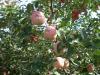 New season fresh fruits apples