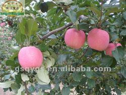 Fresh apple fresh fruit importers