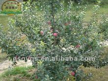 Fresh rose apple fruits
