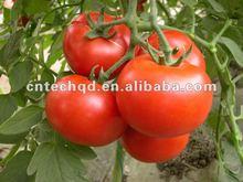 Sweet Fresh Tomato