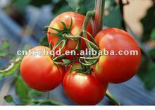 Super Nature/Organic Fresh Tomato 2012