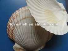 seashells and big scallop shell