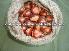 fresh chestnuts 40-50pcs/kg in 5kg bag