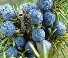 100% Pure Juniper Berry Essential Oil