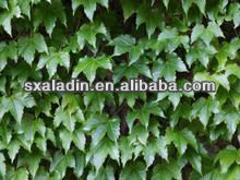 Fructus Schisandra Chinensis extract / GMP plant