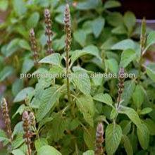 Natural Organic Forskolin Coleus Forskohlii Extract 10%-98% in bulk supply