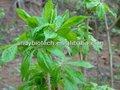 La planta natural puro extracto de ginseng siberiano p. E. 4:1
