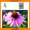 Echinacea extract powder Chicoric Acid echinacea polyphenols powder