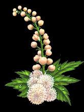 Black Cohosh Extract, Triterpene glycosides