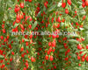 goji wholesalers,bay of goji bio,goji berry manufacturers