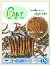 100% Natural yarsagumba from nepal
