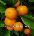 Chino Citrus naranja frutas lista de frutas amarillas