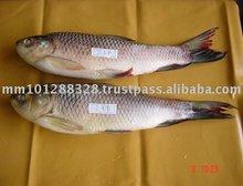 Fresh Water Fish Rohu