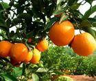 fresh and high quality orange
