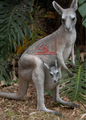 Venda quente gigante de fibra de vidro estátua Kangaroo
