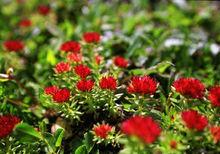high quality rhodiola rosea p.e.