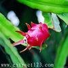 Dragon fruit Extract/ Pitaya extract