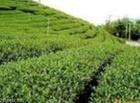 Organic Oolong Tea Extract