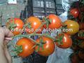 pequeño tomate fresco en la rama en la venta caliente