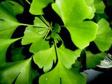Ginkgo Biloba Leaf Extract (24%/6%/<1ppm)