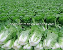 fresh China cabbage