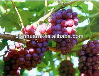 Grape Seed extract powder OPC 30% 2013 Xingjiang Grape