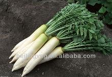 Chinese Fresh White Raddish Supplier (2013 new crop)