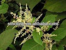 Qingdao BNP Supply High Quality Natural Resveratrol Extract