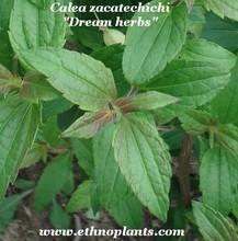 Calea zacatechichi, dream herbs plant