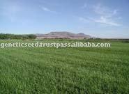 SUNGRAZER 777 Bermuda Grass Seed