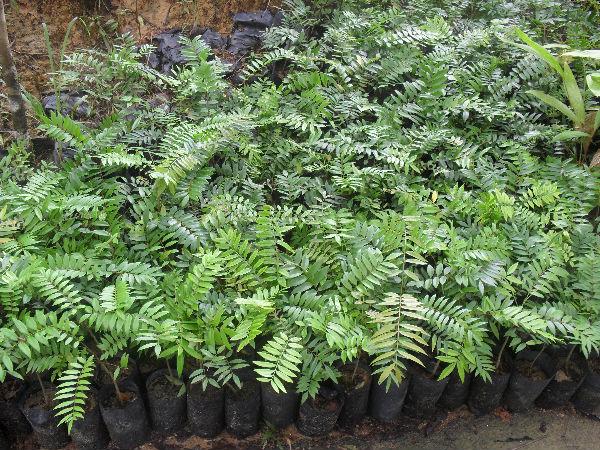 Anak Benih Pokok Tongkat Ali / Longfolia Long Jack Seedlings