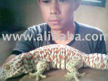 Tokek or Gecko