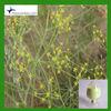 CAS 1135-24-6 Ferulic Acid 98% By HPLC