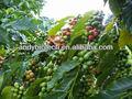 oro fornitore verde chicco di caffè estratto in polvere