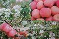 orgánica fresca de manzana fuji venta al por mayor para los importadores