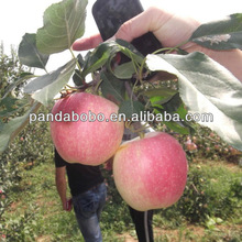 Hot ! Hot! Hot! 2014 fresh apple chinese apple fruit gala apple