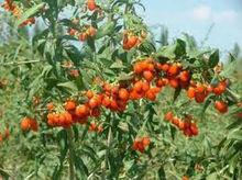 Goji P.E./ Goji Berry Extract Powder /Barbary Wolfberry Fruit p.e.wolfberry fruit/goji berry