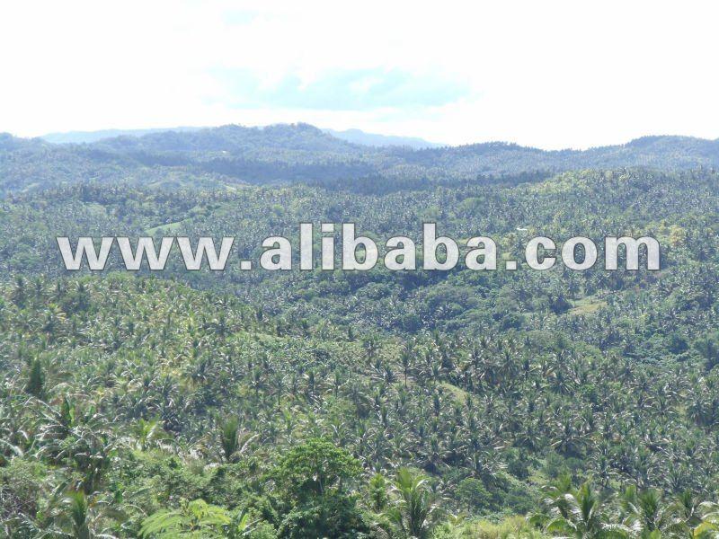 Coco plantación