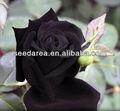 heirloom sementes roxo profundo marrom e rosa rosas do jardim raro duplo flores perenes b3018