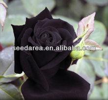 Heirloom Seeds Deep Purple Maroon Rose Garden Roses RARE Double Perennial Flower B3018
