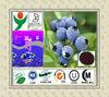 Manufacturer Supply Blue berry extract-Anthocyanidins powder
