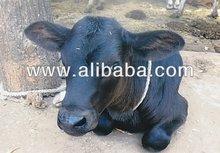 Cow and Buffalo Supplier