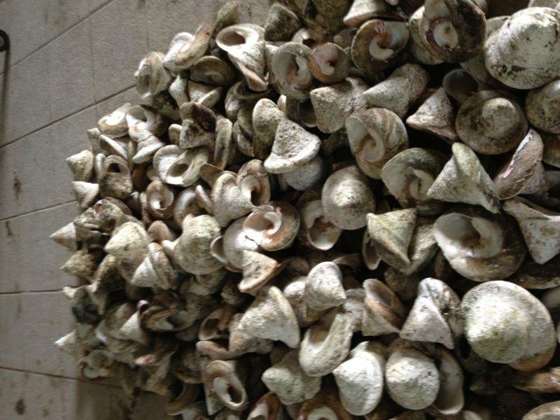 shell trochus nuova caledonia