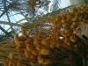 Fresh Sweet omani dates for sells