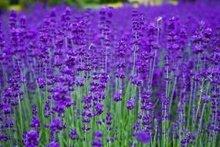 Lavender oil- ORGANIC