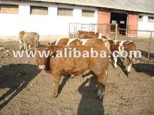 livestock - LIVE CALFS,BULLS, CATTLE, COWS, SHEEPS